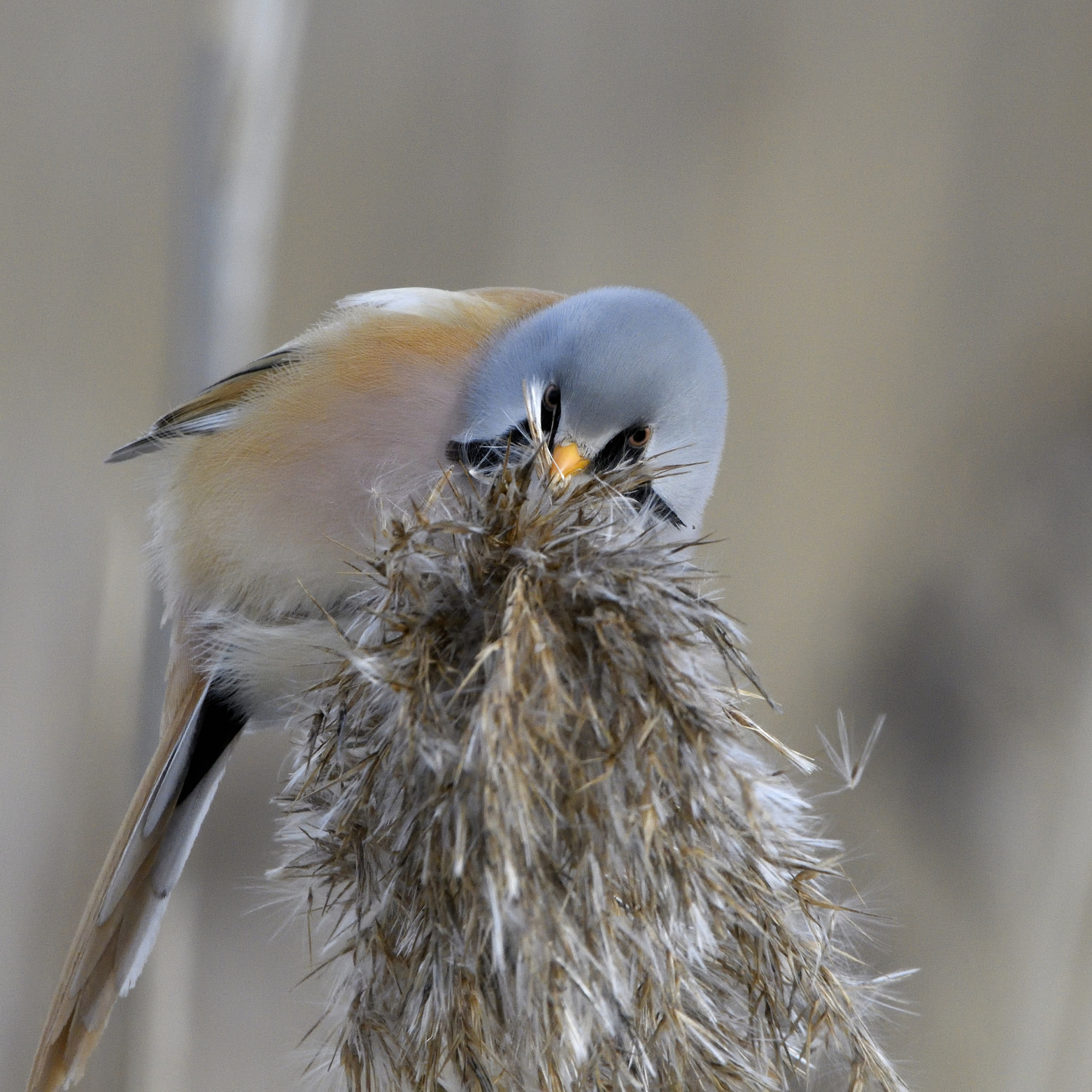 3. Bearded reedling, male