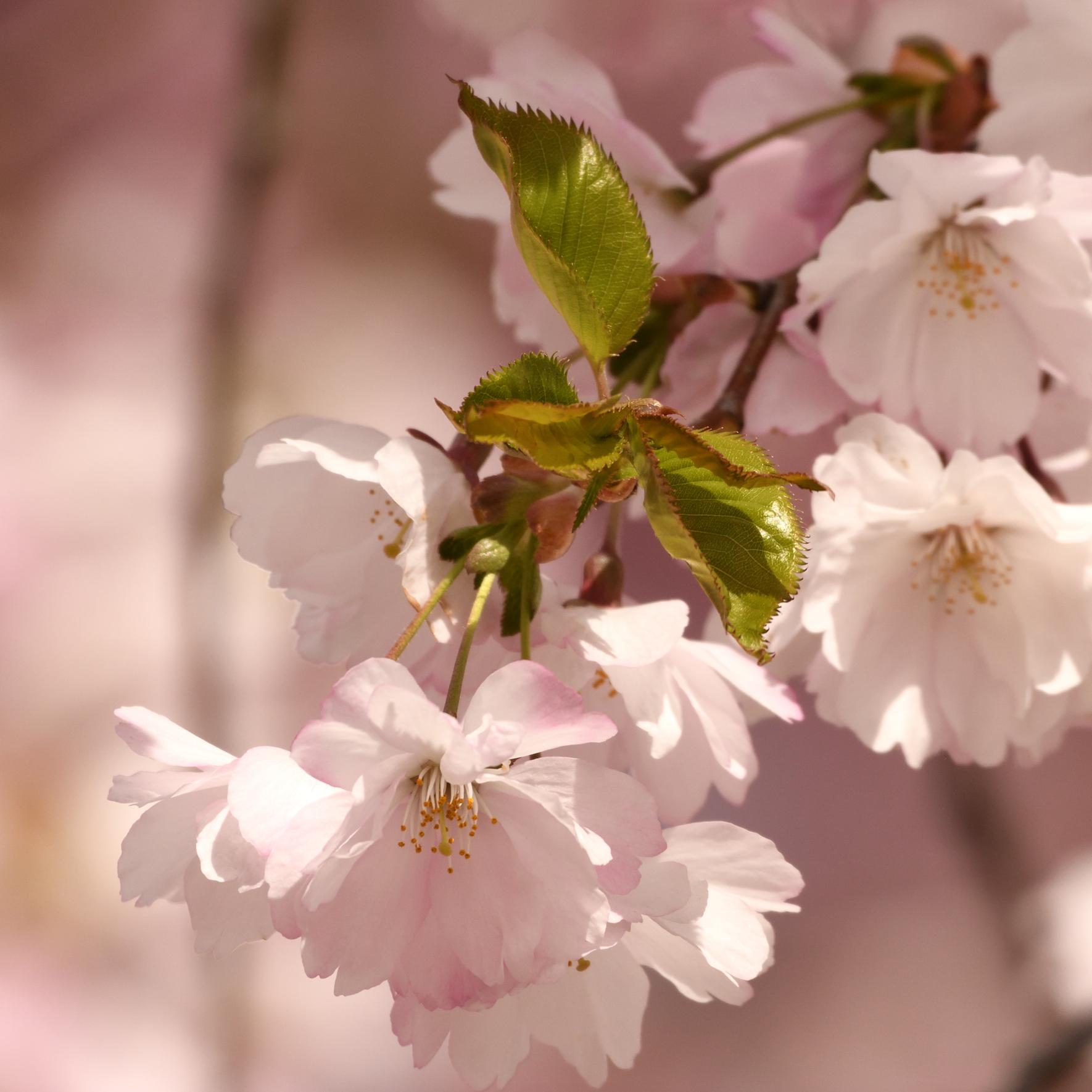 4. Cherry Blossom